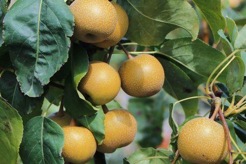 Nashi / Asienbirne / Asiatische Apfelbirne - Pyrus pyrifolia