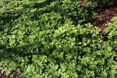 Nelkenwurzähnliche Waldsteinie / Gelapptblättrige Waldsteinie - Waldsteinia geoides