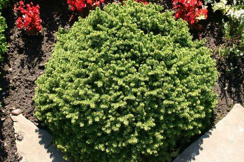 Nestfichte 'Little Gem' - Picea abies 'Little Gem'