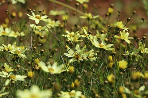 Netzblatt Schönauge 'Moonbeam' - Coreopsis verticillata 'Moonbeam'