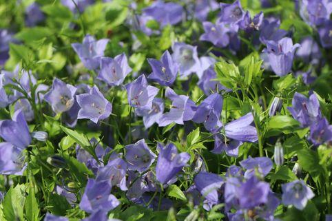 Niedliche Glockenblume 'Bavaria Blue' - Campanula cochleariifolia 'Bavaria Blue'