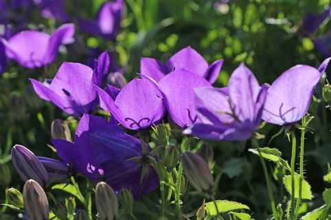 Niedrige Glockenblume 'Tiefblaue Clips' - Campanula carpatica 'Tiefblaue Clips'