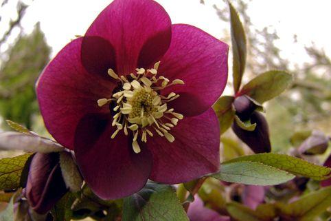 Orientalischer Nieswurz / Christrose 'Pretty Ellen Red' - Helleborus x orientalis 'Pretty Ellen Red'