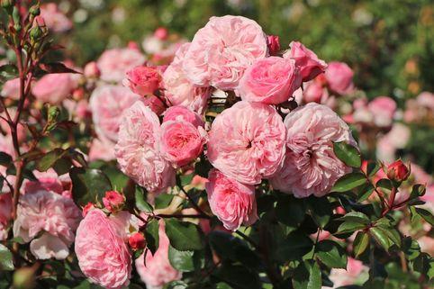 Nostalgie®-Beetrose 'Mariatheresia' ® - Rosa 'Mariatheresia' ®