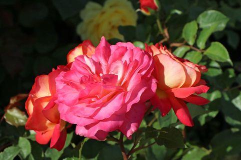 Nostalgie®-Beetrose 'Midsummer' ® - Rosa 'Midsummer' ®