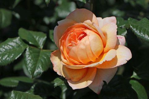Nostalgie®-Edelrose 'Capri' ® - Rosa 'Capri' ®