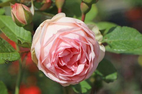 Nostalgie®-Edelrose 'Charming Piano' ® - Rosa 'Charming Piano' ®