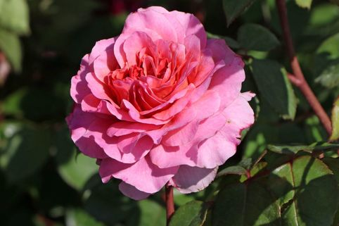 Nostalgie®-Edelrose 'Eisvogel' ® - Rosa 'Eisvogel' ®