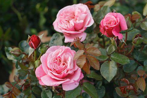 nostalgie edelrose 39 wildberry 39 rosa nostalgie. Black Bedroom Furniture Sets. Home Design Ideas