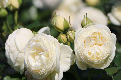 Nostalgie®-Strauchrose 'Artemis' ® - Rosa 'Artemis' ®