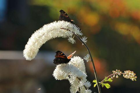Oktober Silberkerze - Cimicifuga simplex 'Armleuchter'