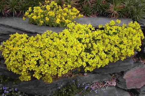 Olymp-Felsenblümchen - Draba bruniifolia