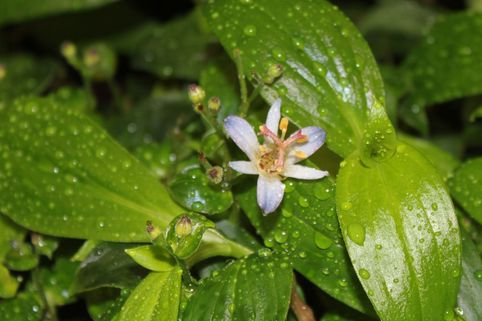 Orchidee 'Hiki Yuri' - Tricyrtis formosana 'Hiki Yuri'