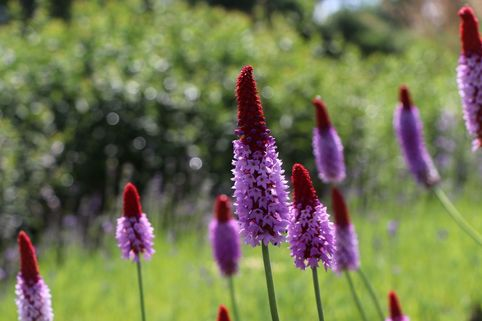 Orchideen-Primel 'Red Hot Poker' - Primula vialii 'Red Hot Poker'