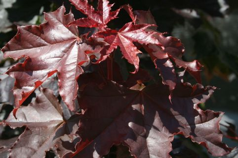 Oregon-Blutahorn 'Royal Red' - Acer platanoides 'Royal Red'