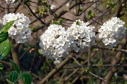 Oster-Schneeball 'Anne Russel' - Viburnum burkwoodii 'Anne Russel'