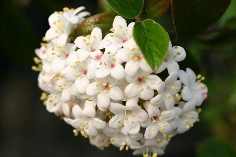 Oster-Schneeball 'Conoy' - Viburnum burkwoodii 'Conoy'