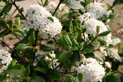 Oster-Schneeball - Viburnum burkwoodii
