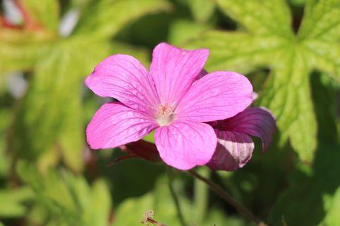 Oxford Garten Storchschnabel 'Phoebe Noble' - Geranium x oxonianum 'Phoebe Noble'