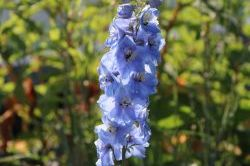 Pacific-Rittersporn 'Summer Skies' - Delphinium x cultorum Pacific 'Summer Skies'