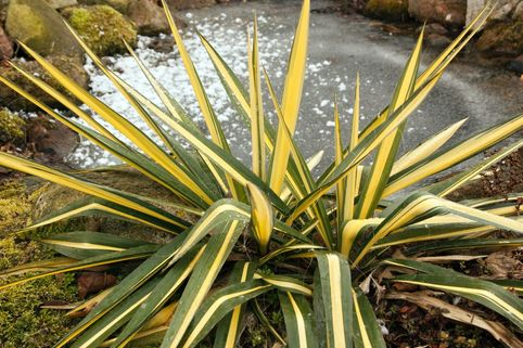 Palmlilie 'Color Guard' - Yucca filamentosa 'Color Guard'