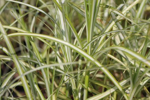 Palmwedel Segge 'Silberstreif' - Carex muskingumensis 'Silberstreif'