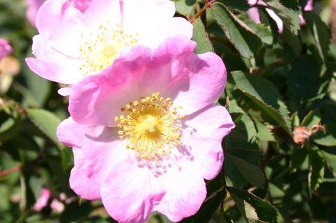 Parkrose 'Bourgogne' ® - Rosa 'Bourgogne' ®
