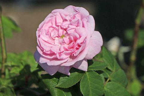 Parkrose 'Fantin Latour' - Rosa 'Fantin Latour'