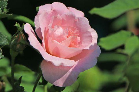 Parkrose 'Fritz Nobis' - Rosa 'Fritz Nobis'