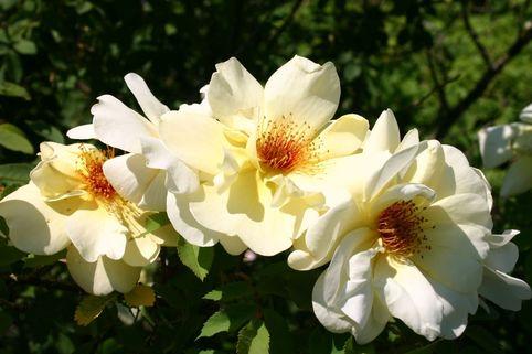 Parkrose 'Frühlingsduft' - Rosa 'Frühlingsduft'