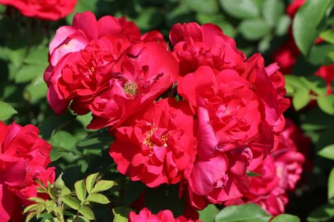 Parkrose 'Hansaland' ® - Rosa 'Hansaland' ®