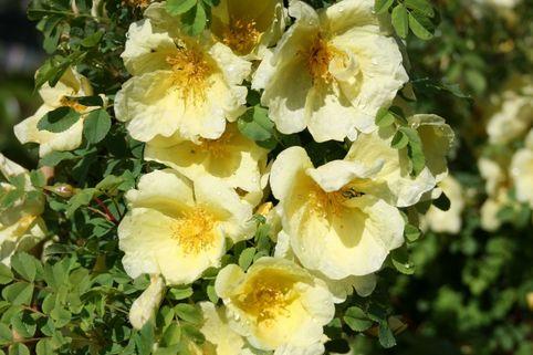 Chinesische Gold-Rose - Rosa hugonis
