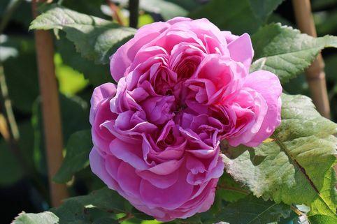 Parkrose 'Jacques Cartier' - Rosa 'Jacques Cartier'