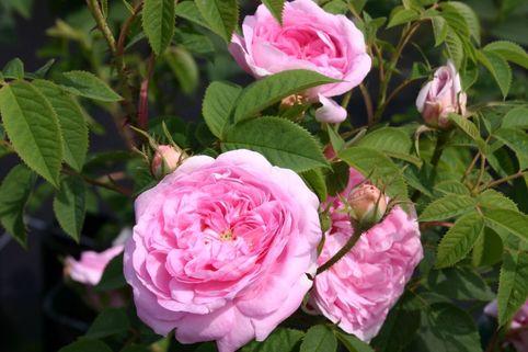 Parkrose 'Königin von Dänemark' - Rosa 'Königin von Dänemark'