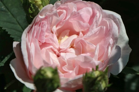 Parkrose 'Maiden's Blush' - Rosa 'Maiden's Blush'