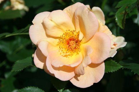Parkrose 'Maigold' - Rosa 'Maigold'