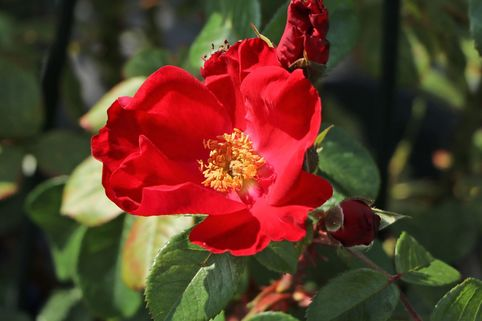 Parkrose 'Robusta' ® - Rosa 'Robusta' ®
