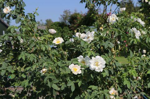 Parkrose 'Semiplena' - Rosa alba 'Semiplena'