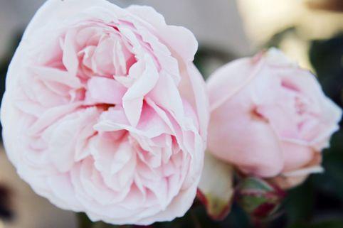 Parkrose 'Souvenir de la Malmaison' - Rosa 'Souvenir de la Malmaison'