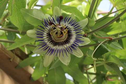 Passionsblume 'Purple Haze' - Passiflora caerulea 'Purple Haze'