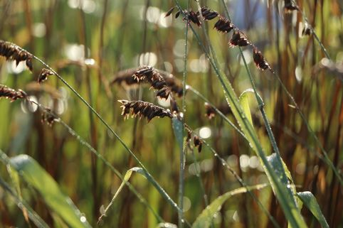 Perlgras 'Atropurpurea' - Melica altissima 'Atropurpurea'