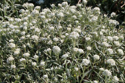 Perlkörbchen 'Sommerschnee' - Anaphalis triplinervis 'Sommerschnee'
