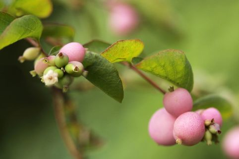 Perlmuttbeere / Schneebeere 'Mother of Pearl' - Symphoricarpos doorenbosii 'Mother of Pearl'