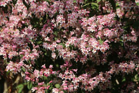 Perlmuttstrauch 'Pink Cloud' - Kolkwitzia amabilis 'Pink Cloud'