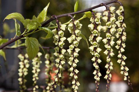 Perlschweif 'Celina' - Stachyurus chinensis 'Celina'