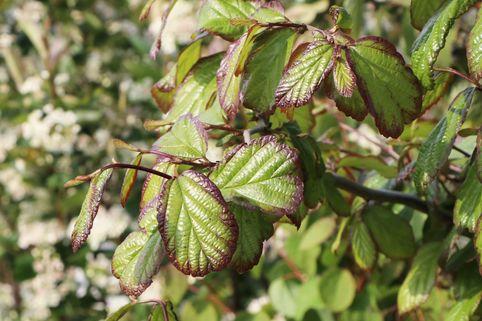 Persischer Eisenholzbaum / Eisenbaum - Parrotia persica