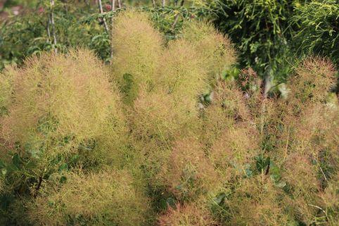 Perückenstrauch / Grüner Perückenstrauch - Cotinus coggygria