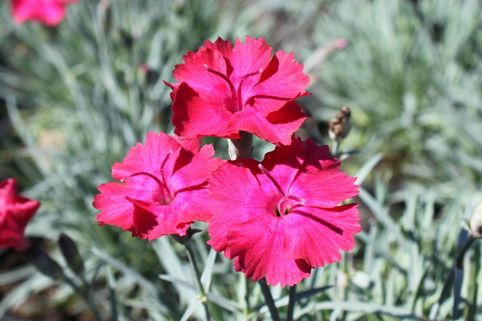 Pfingst-Nelke 'Badenia' - Dianthus gratianopolitanus 'Badenia'