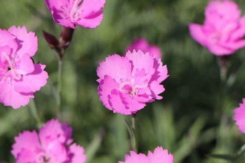 Pfingst-Nelke 'Blauigel' - Dianthus gratianopolitanus 'Blauigel'