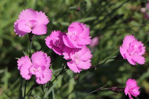 Pfingst-Nelke 'Eydangeri' - Dianthus gratianopolitanus 'Eydangeri'